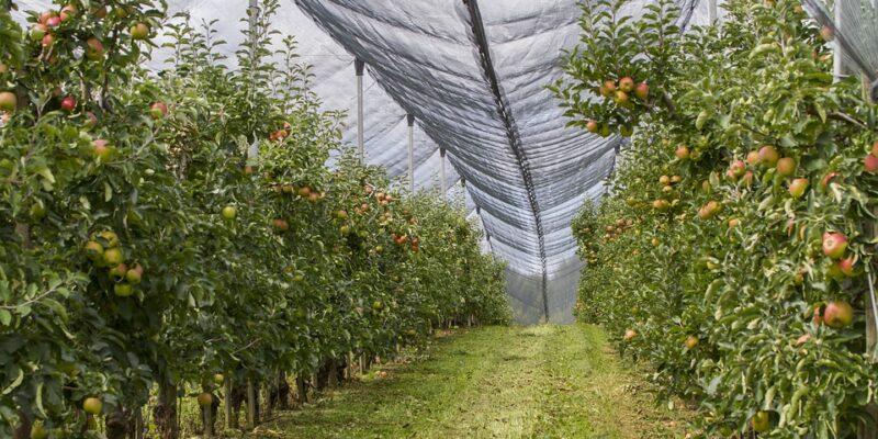nasad jabuka